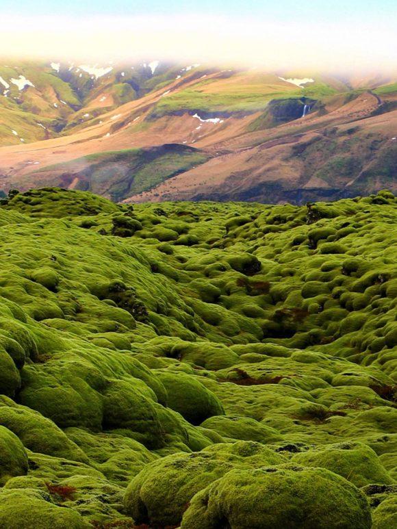 Il muschio islandese: un cuscino centenario