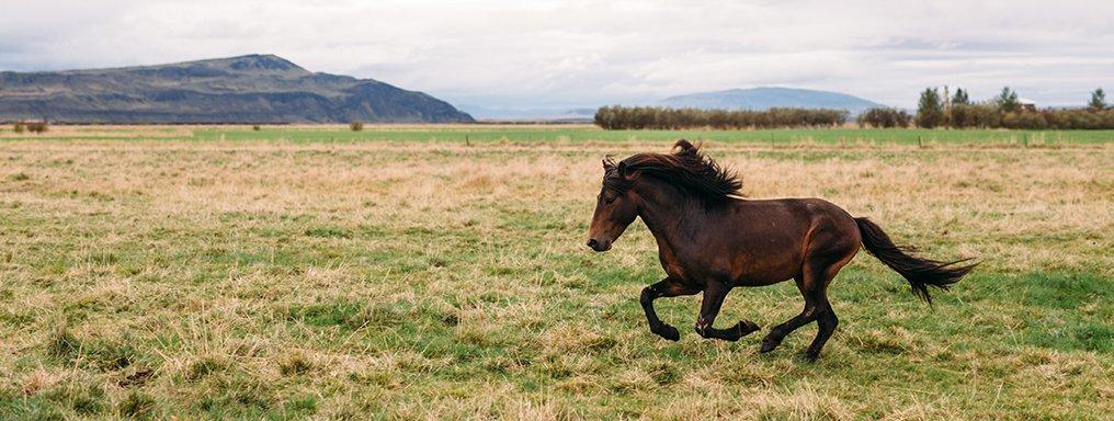 Un cavallo islandese galoppa in un grande campo. Sullo sfondo, montagne.
